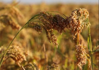 Millet producers discuss future goals