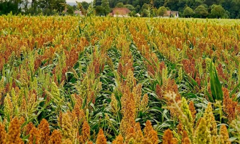 Boosting nutrients in crops to beat 'hidden hunger' of poor diet