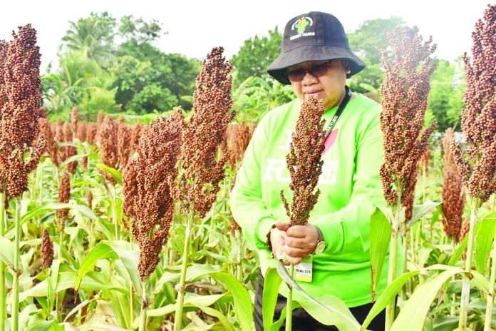 DA W. Visayas pushes sorghum production