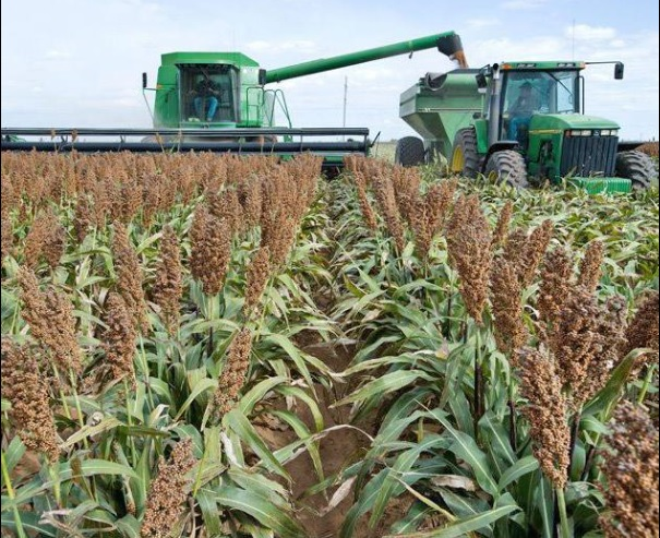 New developments could boost sorghum acres