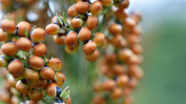 South Africa sorghum production fall set to continue