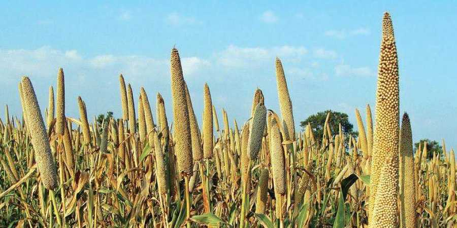 This is why we should be eating millets