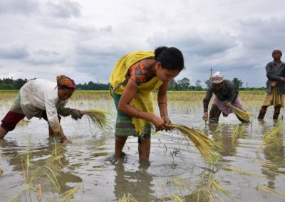 Why Indian farmers must grow less rice and wheat