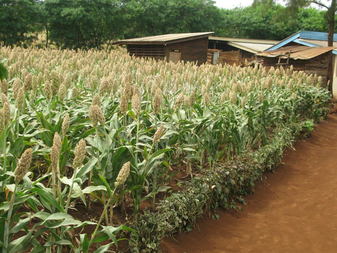 Davao del Norte to plant sorghum