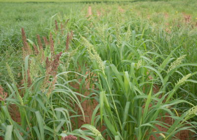 Ancient grain millet has potential to tackle drought, obesity and malnutrition, researcher says