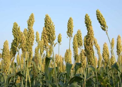 Hyderabad firm developing millet-based convenient foods