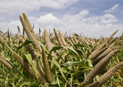 RAHI supports 5 FPOs to create millet value chain in Odisha