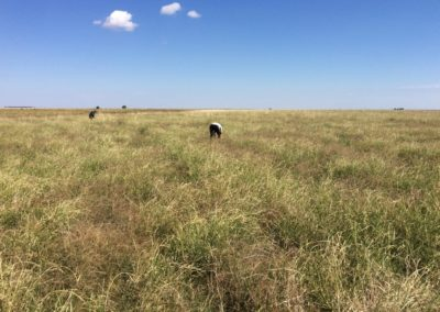 Australian researchers find native grasses could be grown for mass consumption