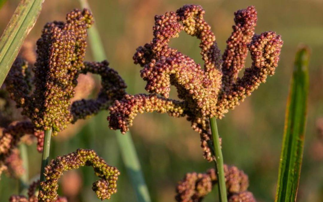 Finger Millet –The Wonder Grains