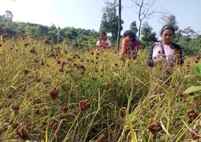 Meghalaya farmers are bringing back the ancient crop